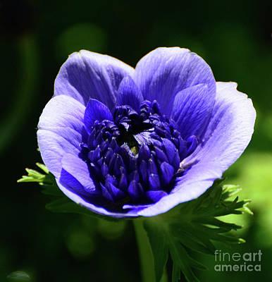 Photograph - Purple Poppy by Cindy Manero