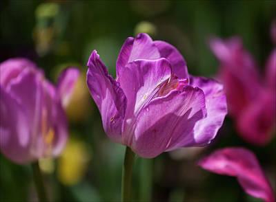Purple Tulip Art Print by Robert Ullmann