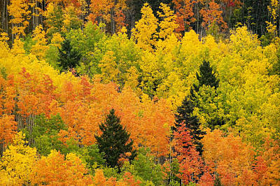 Autumn Scene Photograph - Quaking Aspen And Ponderosa Pine Trees by Ralph Lee Hopkins