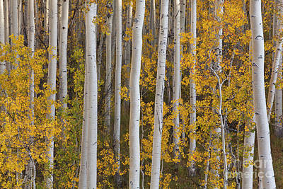 Photograph - Quaking Aspens In Autumn by Yva Momatiuk John Eastcott