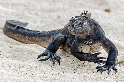 Photograph - Rabida Marine Iguana by Harry Strharsky
