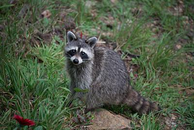 Photograph - Raccoon by Joye Ardyn Durham