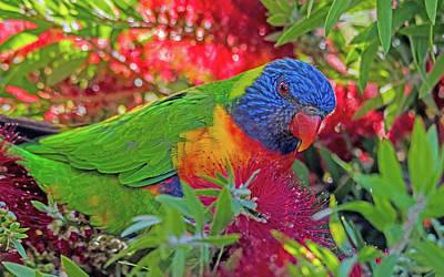 Animal Portraits Royalty Free Images - Rainbow Lorikeet and Bottlebrush in springtime Royalty-Free Image by Merrillie Redden