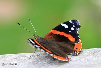 Photograph - Red Admiral Butterfly by J McCombie