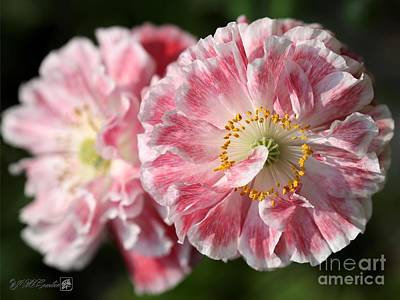 Pretty Pink Poppy Macro Photograph - Red And White Angel's Choir Poppy by J McCombie