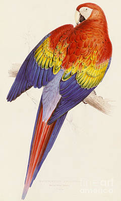 Macaw Drawing - Red And Yellow Macaw by Edward Lear
