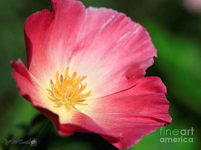 Photograph - Red And Yellow Thai Silk California Poppy by J McCombie