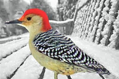 Photograph - Red Bellied Woodpecker In Winter by Janette Boyd