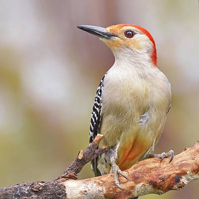 Woodpecker Photograph - Red Bellied Woodpecker by Jim Hughes