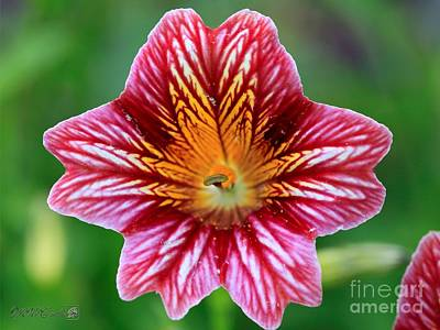 Photograph - Red Bicolor Salpiglossis From The Giant Emperor Mix by J McCombie