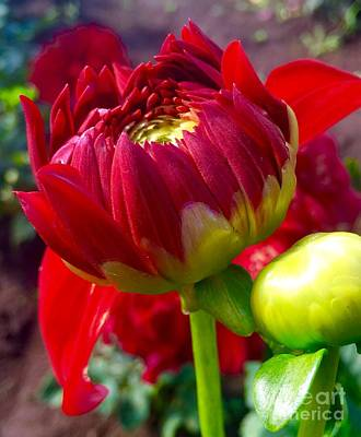 Photograph - Red Dahlia by Susan Garren