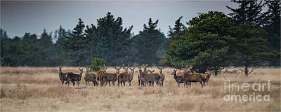 Photograph - Red Deer Wildlife  by Jorgen Norgaard