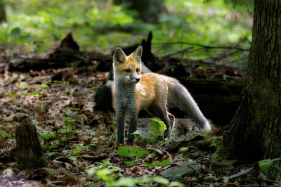 Photograph - Red Fox Kit In The Woods by Dan Friend