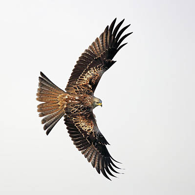 Photograph - Red Kite In Flight by Grant Glendinning