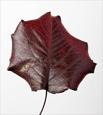 Red Leaf 4 Art Print by Robert Ullmann