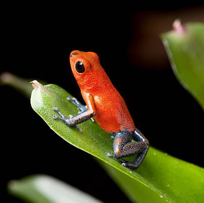 Panama Frog Photograph - Red Poison Dart Frog by Dirk Ercken
