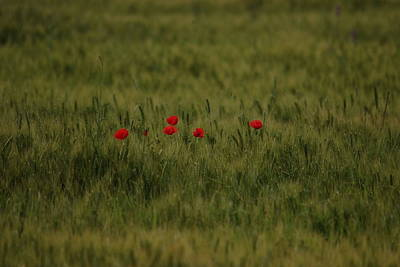 Photograph - Red Poppies In Meadow by Cliff Norton