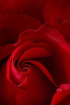 Photograph - Red Rose Iv by George Robinson