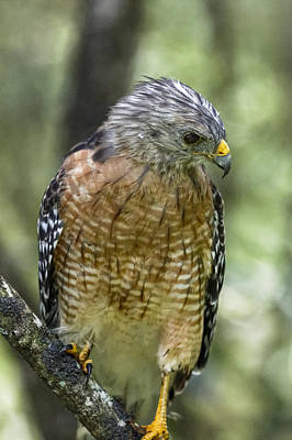 Photograph - Red-shouldered Hawk by Peter Lakomy