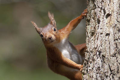 Photograph - Red Squirrel - Scottish Highlands #3 by Karen Van Der Zijden