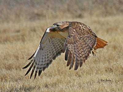 Photograph - Red-tailed Hawk by Bob Zeller