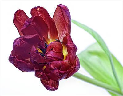 Red Tulip Art Print by Robert Ullmann