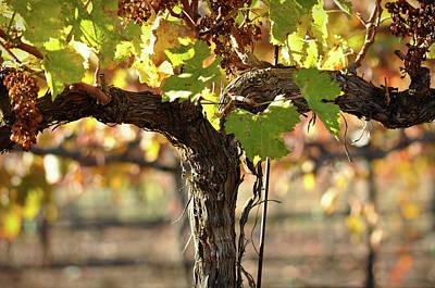 Red Wine Vine Art Print by Brandon Bourdages