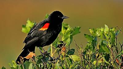 Photograph - Red Winged Blackbird by Ira Runyan