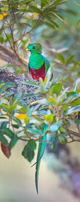 Quetzal Photograph - Resplendent Quetzal Pharomachrus by Panoramic Images