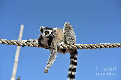 Apes Photograph - Ring Tailed Lemur by George Atsametakis