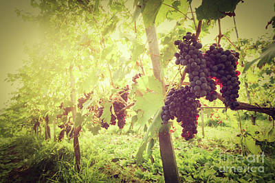 Photograph - Ripe Wine Grapes On Vines In Tuscany Vineyard, Italy by Michal Bednarek
