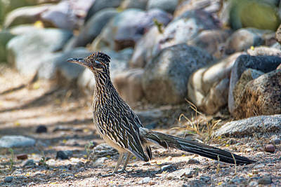 Photograph - Roadrunner by Dan McManus