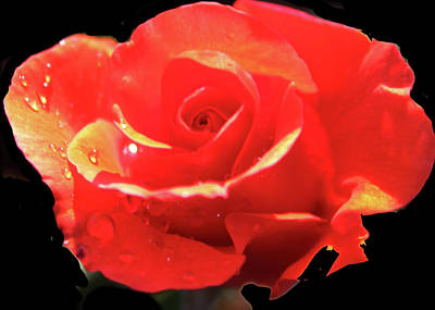 Photograph - Rose-1 by Anand Swaroop Manchiraju
