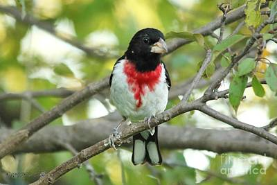 Photograph - Rose-breasted Grosbeak by J McCombie