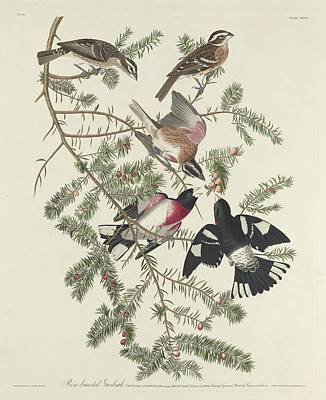 Audubon Drawing - Rose-breasted Grosbeak by Dreyer Wildlife Print Collections