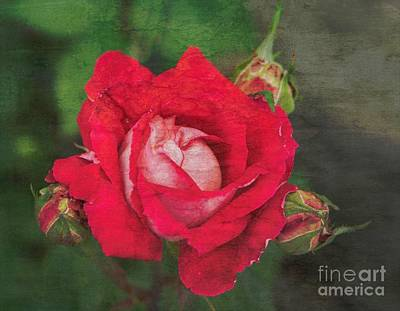 Photograph - Rose Red by Cathy Donohoue