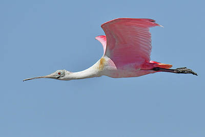 Photograph - Roseate Spoonbill by Alan Lenk