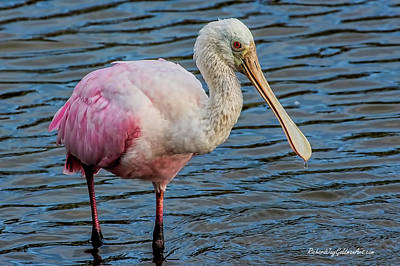 Photograph - Roseate Spoonbill 1 by Richard Goldman
