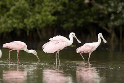 Of Birds Photograph - Roseate Spoonbills Ajaia Ajaja Feed by Tim Laman