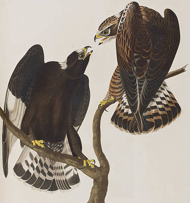 Eagle Drawing - Rough-legged Falcon by John James Audubon