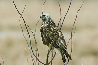 Photograph - Rough-legged Hawk by Craig Strand