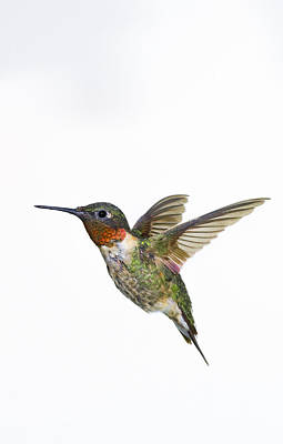 Ruby-throated Hummingbird Archilochus Art Print by Thomas Kitchin & Victoria Hurst
