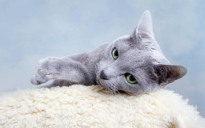 Cat Photograph - Russian Blue Cat by Nailia Schwarz