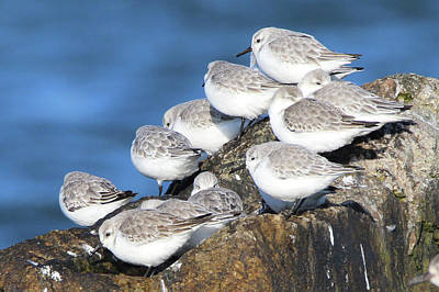 Sanderling Westhampton New York Art Print