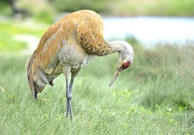 Photograph - Sandhill Crane by Kathy King