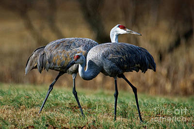 Photograph - Sandhill Cranes by Paul Mashburn