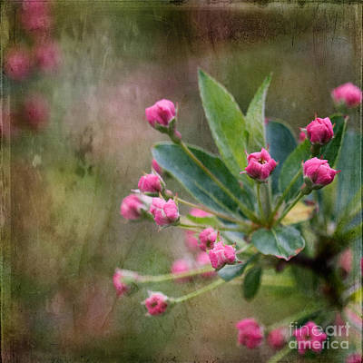 Photograph - Sargent Crabapple Buds by Ann Jacobson