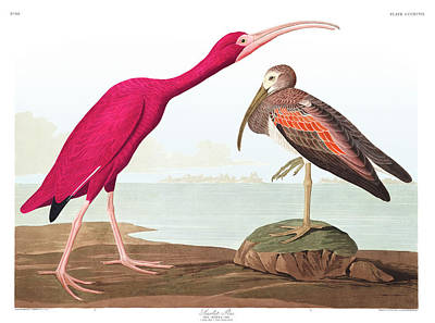 Ibis Wall Art - Painting - Scarlet Ibis by John James Audubon