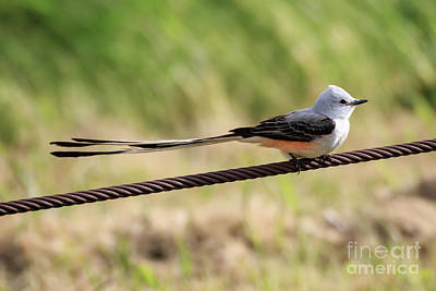 Photograph - Scisor-tailed Flycatcher by Richard Smith