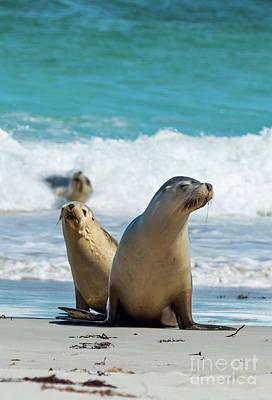 Photograph - Sea Lions Australia by Andrew Michael